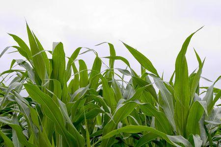 Corn field in Dordogne, France photo