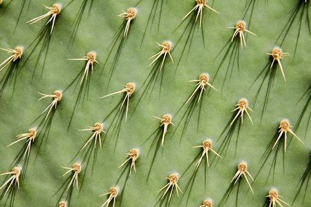 Close-up of a prickly pear cactus ( Opuntia ficus-indica )