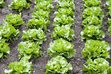 comestible: Rows of butterhead lettuce in a farm