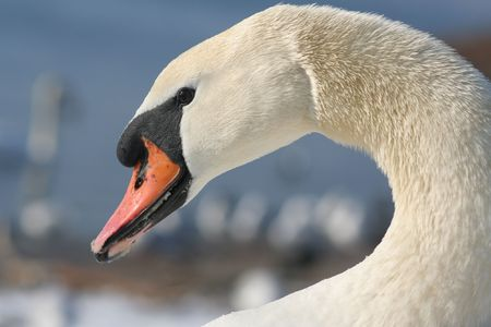 curvature: swans head