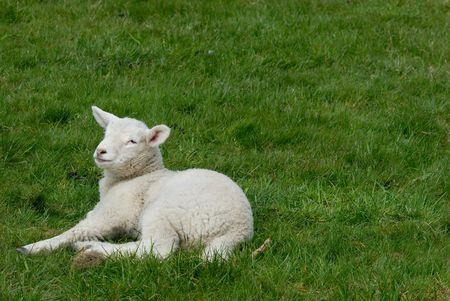 Little lamb on the Hallig Hooge in germany, europe. Stock Photo