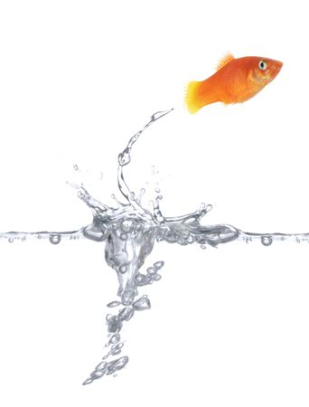 Goldfish is jumping. Picture was made in a  studio.