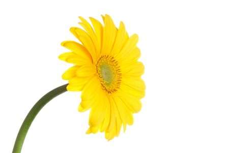 Yellow gerbera (daisy). Picture was made in a studio. Stock Photo - 795670