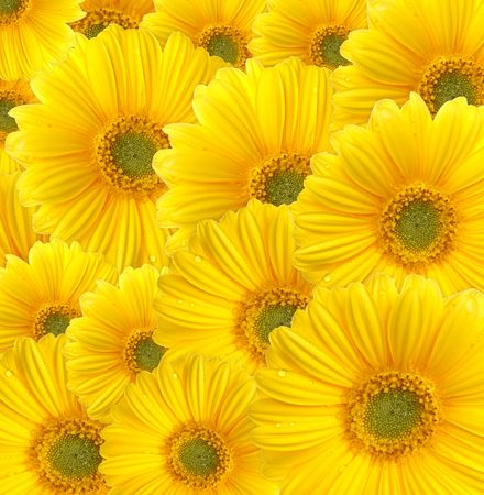 Yellow gerberas (daisy). Picture was made in a studio. photo