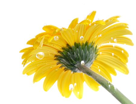 yellow gerbera isolated on: Yellow gerbera in the rain. Picture was made in a studio.