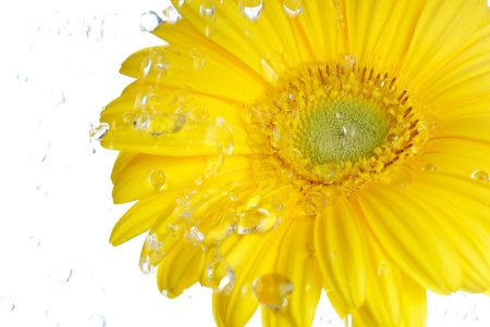 Yellow gerbera in the rain. Picture was made in a studio. photo