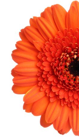 Red gerbera (daisy). Picture was made in a studio. photo