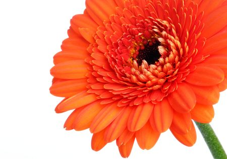 Red gerbera (daisy). Picture was made in a studio. Stock Photo - 795679