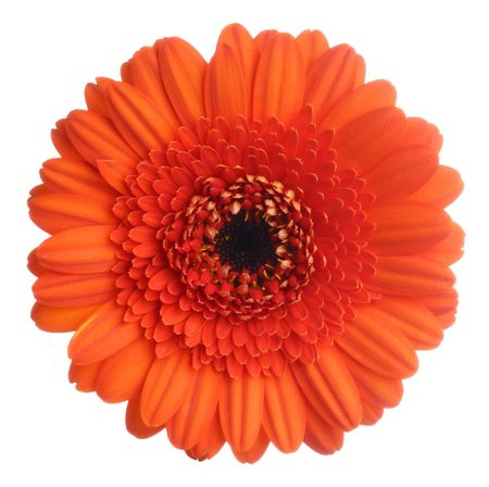Red gerbera (daisy). Picture was made in a studio. Stock Photo - 883975