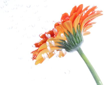 Red gerbera in the rain. Picture was made in a studio. photo