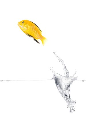 Yellow fish is jumping out of the water. Full isolated studio picture photo
