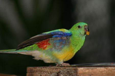 perico: parakeet