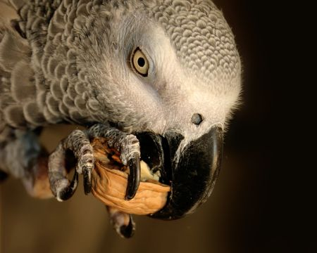 african grey parrot: African grey Parrot eating a nut Stock Photo