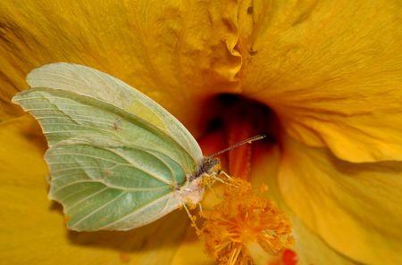 Gonepteryx rhamni butterfly from Maroc Stock Photo - 795473
