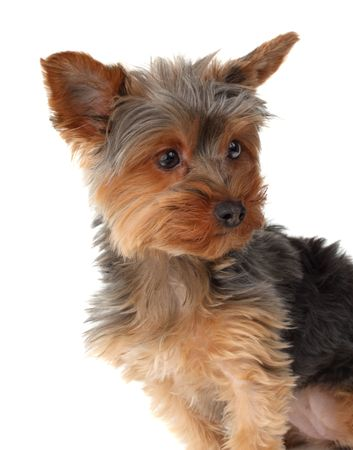 cute yorkshire terrier dog, white background Stock Photo - 4636587