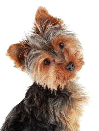 yorkie: closeup on cute yorshire terrier puppy, isolated on white LANG_EVOIMAGES