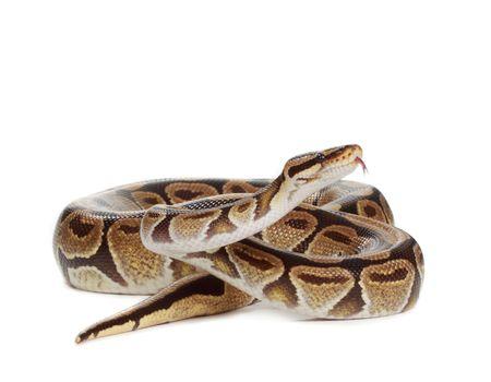 Royal python snake isolated on white background
