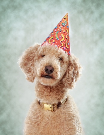 royals: beige poodle wearing a nice party hat
