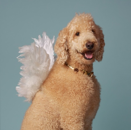 angel white: cute beige angel poodle dog wearing white wings