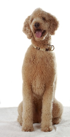 royals: adorable beige poodle sitting, white background Stock Photo