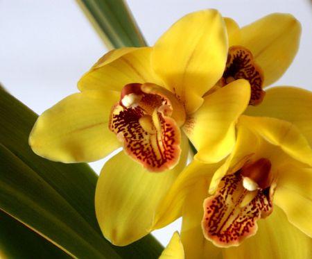 trio: Orchid Trio