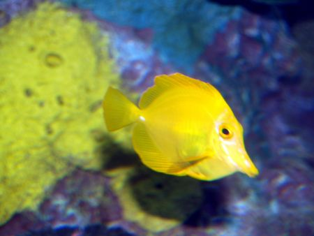 Yellow fish photo
