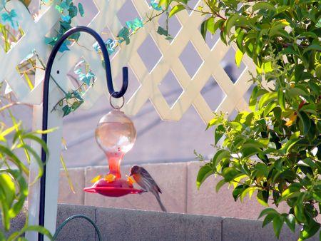 suger: Drinking at bird feeder Stock Photo