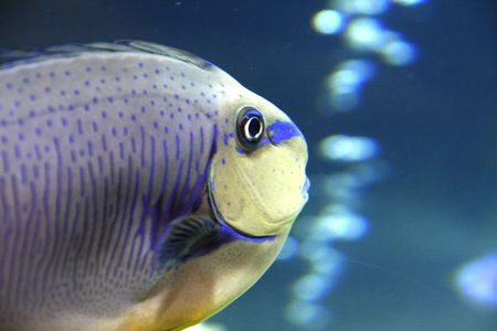 Parrot fish in a tank with bubbles photo