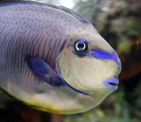 Parrot fish in a tank with coral in background photo