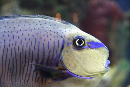 Parrot fish in a tank with coral in background Stock Photo - 2744875