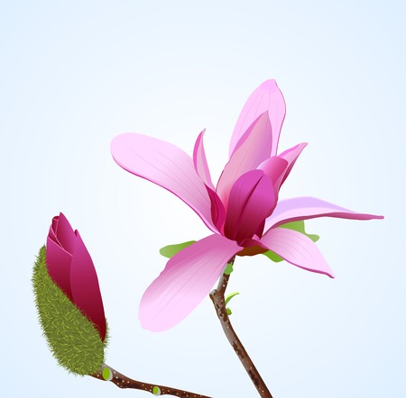 A realistic vector illustration of magnolia flower Illustration