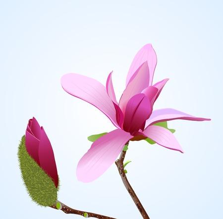 Unillustrazione realistica di vettore del fiore del magnolia Vettoriali