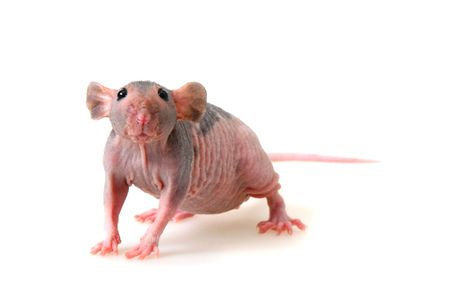 Decorative hairless rat on a white background. Stock Photo