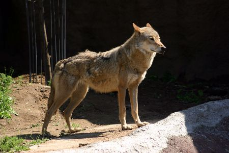 predatory: Predatory mammal the wild wolf