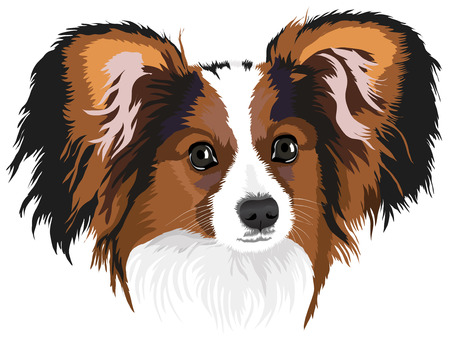 Papillon: Portrait of a dog of breed papillon. A vector illustration.