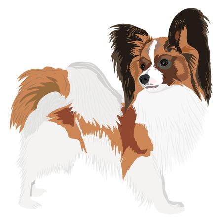 Papillon: Portrait of a dog of breed papillon. Vector illustration