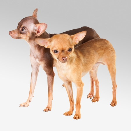 Two Russian toy terrier isolated on a white background Stock Photo - 8947518