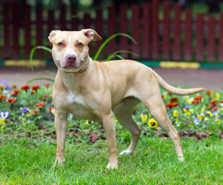 pit bull: Outdoor Portrait standing American Pit Bull Terrier  Stock Photo