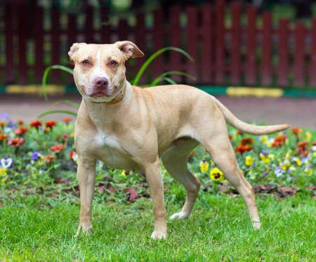 toros bravos: Retrato al aire libre de pie American Pit Bull Terrier Foto de archivo