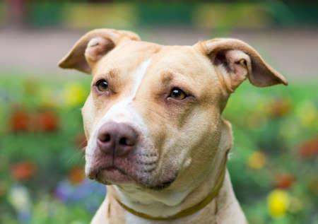 foso: Retrato al aire libre de cerca American Pit Bull Terrier Foto de archivo