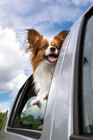 open windows: Perro asomando la cabeza ventanilla de un coche fuera