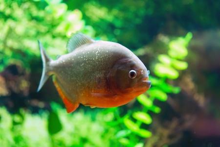 Red Piranha aka Serrasalmus nattereri photo