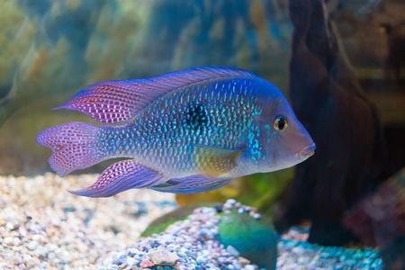freshwater aquarium: South American cichlid in aquarium (Geophagus brasiliensis)  Stock Photo