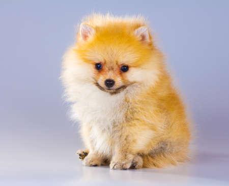 cute dog: Little fluffy Pomeranian puppy on a gray background