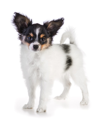 Papillon puppy standing on a white background photo
