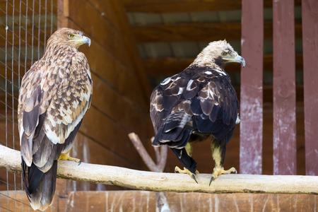 aquila: Imperial Eagle aka Aquila Heliaca in Zoo