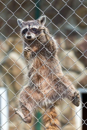 procyon: A raccoon  Procyon lotor  behind a fence at a zoo