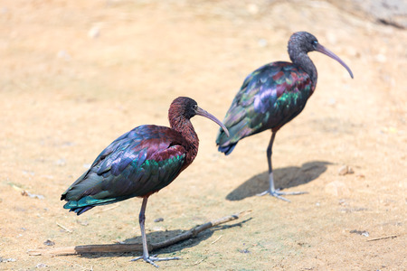 Two Glossy Ibis (Plegadis falcinellus) is a wading bird in the ibis family Threskiornithidae photo