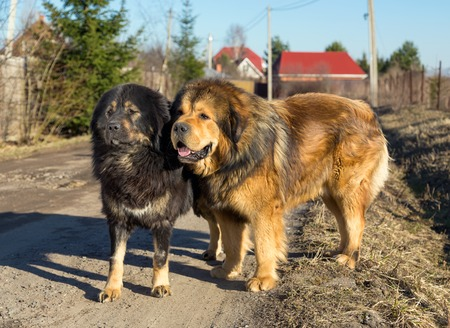 mastiff: Two Tibetan Mastiff stands on a dirt road on a sunny day