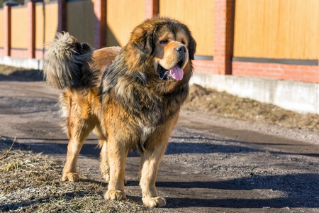 mastiff: Tibetan Mastiff stands on a dirt road on a sunny day